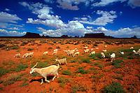 Sheep wondering the desert, Monument Valley, Utah/Arizona