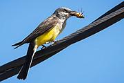Western Kingbird eats a grasshopper.