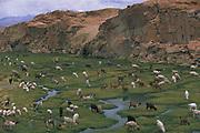 Llamas<br />Lama glama<br />Quetena River Valley,  Altiplano (High Andes). SW BOLIVIA<br />South America