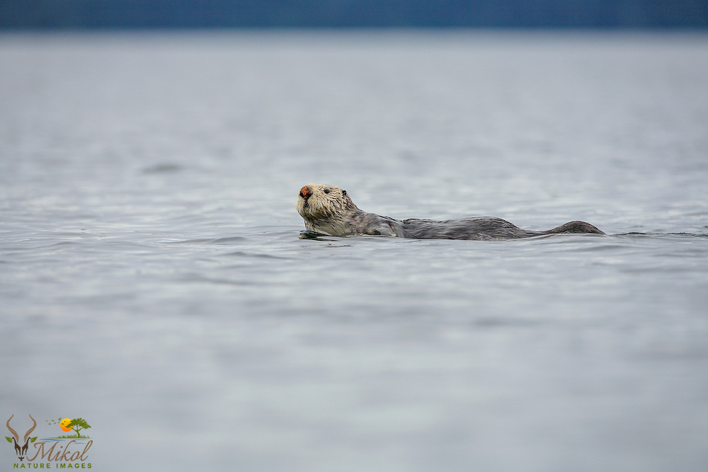 Red-nosed sea otter swimmimng and looking