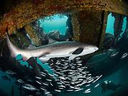 Sand tiger shark surrounded by baitfish swims inside the Aeolus shipwreck in North Carolina, USA