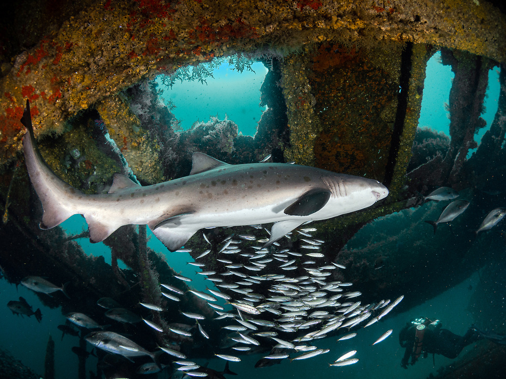 Sand tiger shark, Aeolus Shipwreck