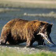 Alaskan Brown Bear, (Ursus middendorffi) Adult with salmon in mouth. Alaskan Peninsula.
