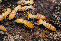 Eastern Subterranean Termite - Reticulitermes flavipes, workers and soldier.  Lake May Reserve under a rotting log.  Eustice, Florida USA.