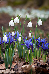 Iris reticulata  'Harmony' and snowdrop in the Winter Garden at Dunham Massey. Galanthus