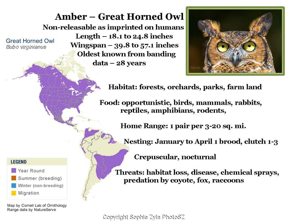 Amber the Great Horned Owl, exhibit species info label sample