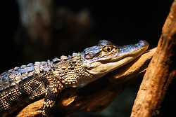 July 2007: American Alligator, Chattanooga Aquarium.  Attractions near Chattanooga Tennessee. Point Park, National Park Service - Lookout Mountain, TN. (Photo by Alan Look)