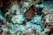 Iniistius pavo (Peacock Razorfish)