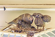 Mourning Dove Chick Spreading Wings and Exercising Prior to Fledging