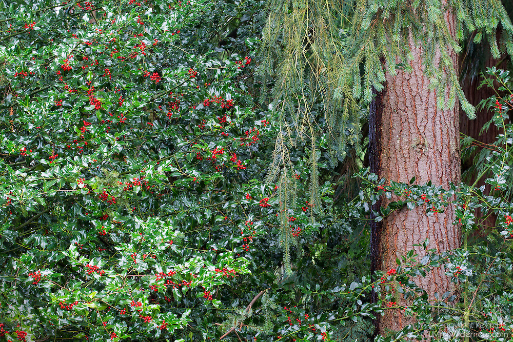 Thick holly grows beside the trunk of a douglas fir tree in Snohomish County, Washington.