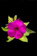 Der Hohe Stauden-Phlox (Phlox paniculata), auch Rispige Flammenblume, Herbstflieder oder einfach Flammenblume genannt, ist eine Pflanzenart aus der Gattung der Flammenblumen (Phlox) in der Familie der Sperrkrautgewächse (Polemoniaceae).. Jenischpark in Othmarschen. Hamburg, Deutschland.  5.9.2017