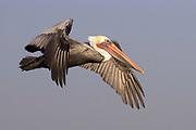Brown Pelican in full breeding colors in flight, (Pelecaus occidentalis), Bolsa Chica Wetlands, California