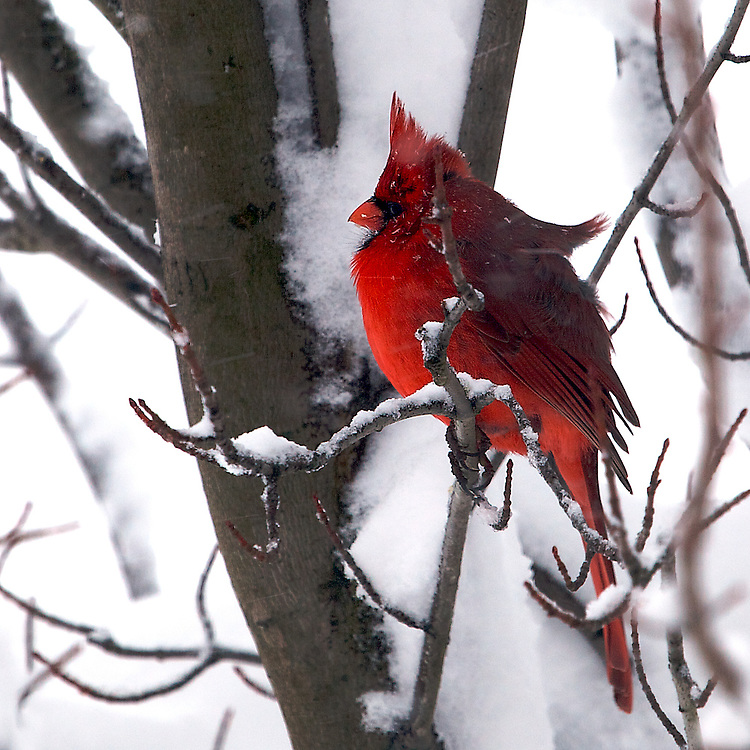 A male Northern Cardinal comes looking for food on a snowy winter day