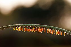 Backlit seeds on distinctive stem of Eastern gamagrass on the Daphne Prairie, a remnant of the Blackland Prairie, Mount Vernon, Texas, USA.