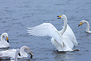 Group of Whooper Swans, Cygnus cygnus, one flapping wings at Welney Wetland Centre, Norfolk, UK