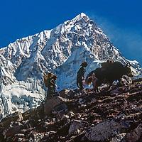 Sherpa women lead a yak up a hll below Nuptse in the Khumbu region of Nepal's Himalaya.