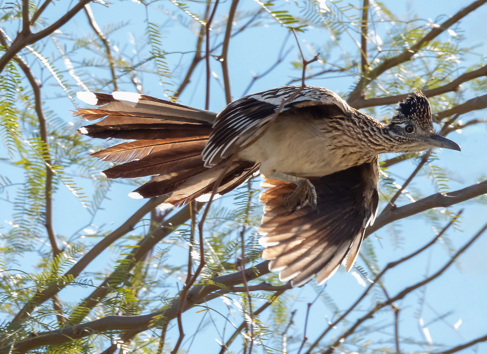 Roadrunners fly about as well as a chicken.