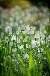 White snakeshead fritillaries - Fritillaria meleagris alba