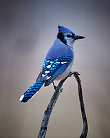 Blue Jay. Image taken with a Nikon D5 camera and 600 mm f/4 VR lens (ISO 1600, 600 mm, f/4, 1/160 sec)