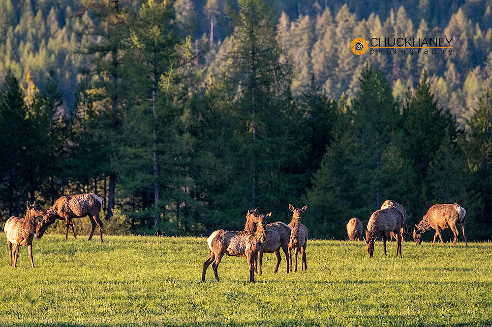 Herd of elk graze in pasture on the outskirts of Whitefish, Montana, USA