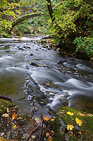 Whatcom Creek with Maple Leaves Bellingham, Washington