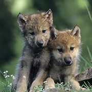Gray Wolf portrait of pups in the Rocky Mountains of Montana. Captive Animal