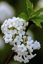 Viburnum farreri syn. V. fragrans