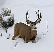 Mule Deer (Odocoileus hemionus) in deep snow, Yellowstone NP, USA