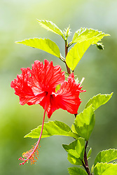 Hibiscus flower, Manuel Antonio National Park, Costa Rica