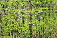 Hardwood forest in spring, White Mountains National Forest New Hampshire USA