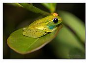 Glass-frog (Boophis tasymena) from Andasibe, Madagascar. Nikon D850, 105mm macro, f11, 1/250sec, ISO400, Nikon SB900 TTL, Manual modus