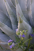 Scorpionweed blooms amongst an agave, Anza-Borrego Desert State Park, California.