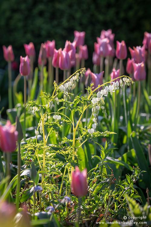 Dicentra spectabilis 'Alba' - White bleeding heart -  with Tulipa 'Mistress Mystic'