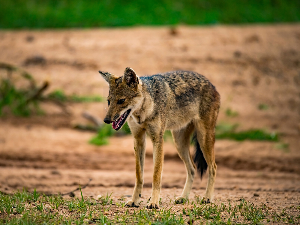 A side-striped jackal near a washed out gully in Kidepo NP, Uganda.