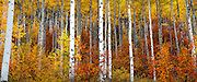 SHOT 9/27/11 5:09:01 PM - A forest of aspen trees awash in changing colors of red, yellow and orange in Beaver Creek, Colorado. Beaver Creek, Co is an unincorporated community in Eagle County, Colorado, United States. Beaver Creek is located immediately south of the town of Avon and encompasses the Beaver Creek Resort and adjacent business, lodging, and residential areas. The Holy Cross Wilderness is a U.S. Wilderness Area located in San Isabel and White River national forests near Leadville, Minturn, Avon, Edwards, Eagle, and Vail, Colorado. (Photo by Marc Piscotty /  © 2011)