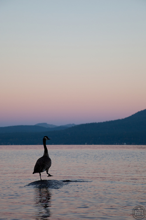 """""""Canadian Goose at Lake Tahoe 2"""" - This Canadian Goose was photographed from a kayak at Sunrise on Lake Tahoe, near Speed Boat Beach."""