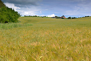 Barley Field in the Test Valley, Whitchurch, Hampshire