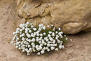 Wildflowers and rock in the Red Desert of Wyoming