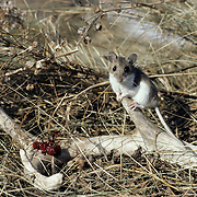 Deer Mouse (Peromyscus maniculatus) sitting on the tine of a shed whitetail deer antler. The deer mouse feeds on antlers for calcium.  Wisconsin