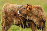 Large Limia crossbreed calf Tauros/Aurochs breeding site run by The Taurus Foundation, Keent Nature Reserve, The Netherlands