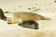 Common seal, harbour seal, Phoca vitulina, mother with pup on beach, Sanday, Orkney, Orkney Isles.<br /> animal; animals; mammal; mammals; nature; wildlife; <br /> adult; two; couple; sea; coast; coastal; pinniped; pinnipeds;<br /> brown; grey; gray; watch; watching; look;