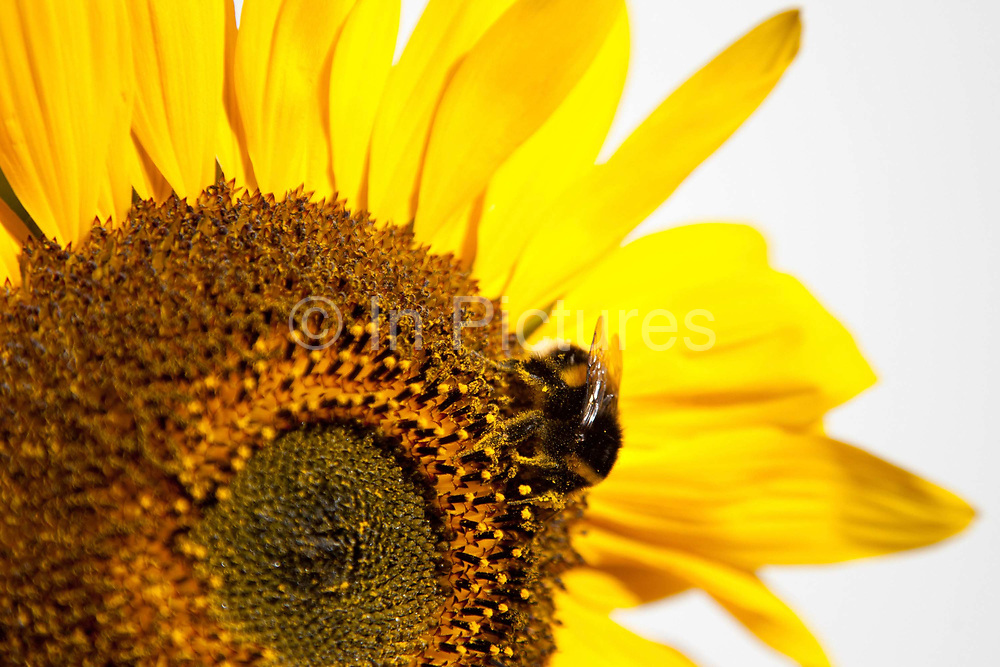 A bumblebee is eating nectar from a sun flower in a back garden in London. Keeping bees is a growing hobby in London and the hives and apiaries can be found in back gardens and roof tops across the capital.