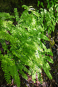 Five-Finger Fern (or Western Maidenhair, Latin name Adiatnum pedatum aleuticum). Photo is from Henry M. Jackson Wilderness, Goat Lake Trail #647, east of Barlow Pass, in Mount Baker-Snoqualmie National Forest, in the Central Cascades, accessed from the Mountain Loop Highway, Washington, USA.