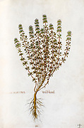 Hand drawn ancient Botanical illustration of a Satureja montana (winter savory or mountain savory) plant, published c 1550