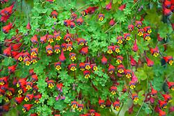 Tropaeolum tricolor AGM. Three-coloured Indian cress, Chilean Nasturtium