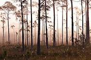 Pine trees loom out of early-morning fog in Everglades National Park, Florida. WATERMARKS WILL NOT APPEAR ON PRINTS OR LICENSED IMAGES.