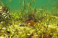 Black Bullhead (guarding eggs)<br /> <br /> Engbretson Underwater Photography