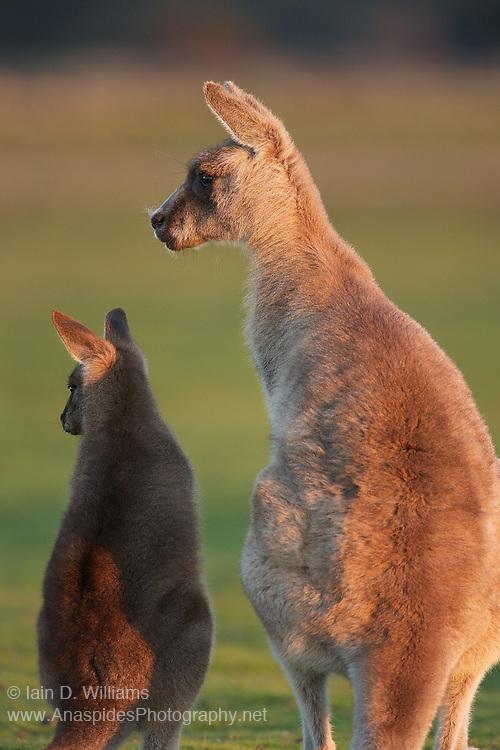 Eastern Grey Kangaroo (Macropus giganteus tasmaniensis) - Tasmania