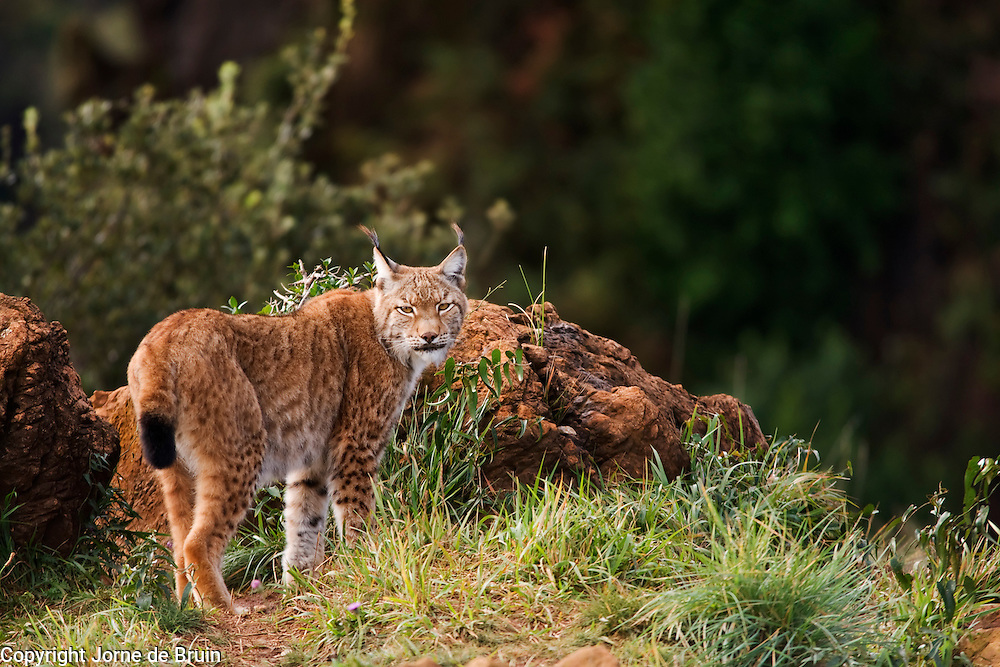 A lynx is standing on a rocky cliff in the Wildlife Park of Cabárceno in Spain.