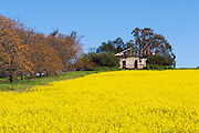 Dilapidated rundown old wooden farm house in paddock  of canola crop near Junee, New South Wales, Australia <br />